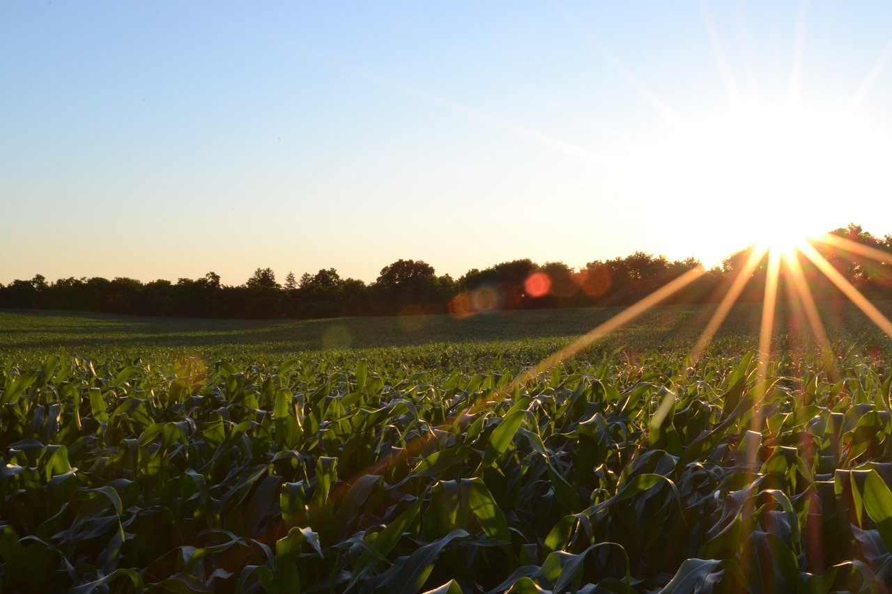 corn, field, agriculture-691634.jpg